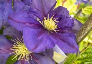 Purple Clematis, 5.11.20