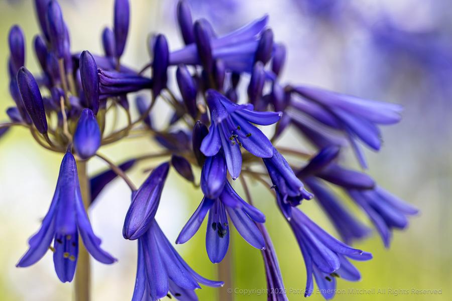 First_Shot-_Dark_Purple_Agapanthus,_7.17.20.jpg