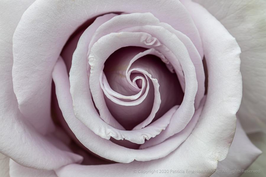 Pale_Lavender_Rose,_4.21.20.jpg