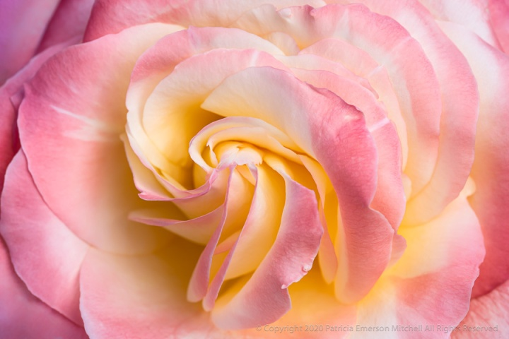 Pastel_Rose_II,_4.28.20.jpg