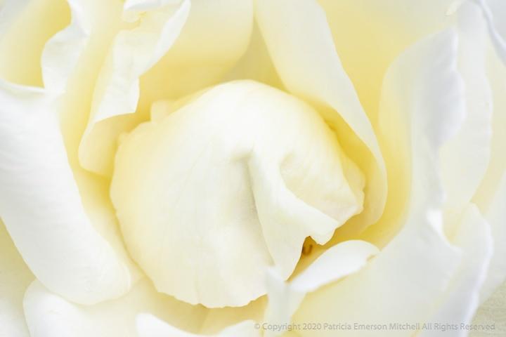 White_Rose_(III),_4.17.20.jpg