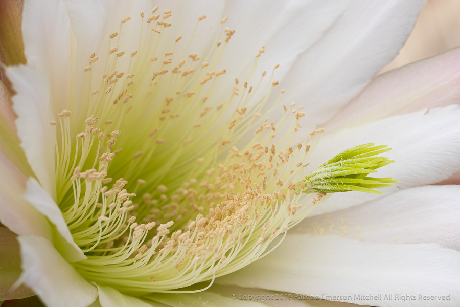 This is a flower from the cereus cactus.
