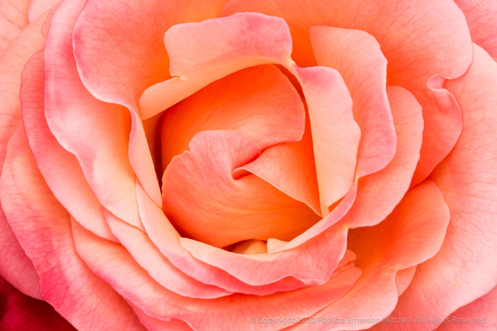 This is a rose called Colorific.