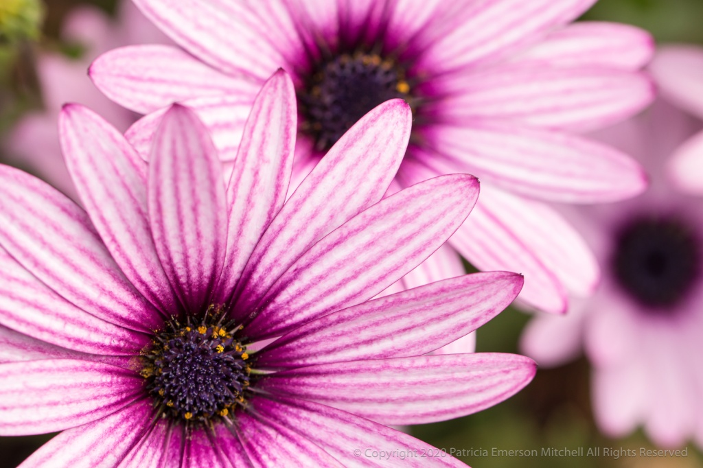 Osteospermum, also known as an African daisy, with Stripes