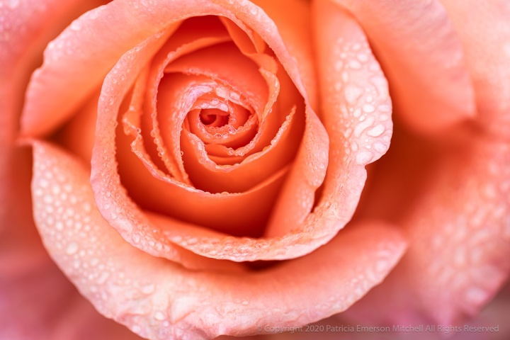 Salmon Rose with Raindrops