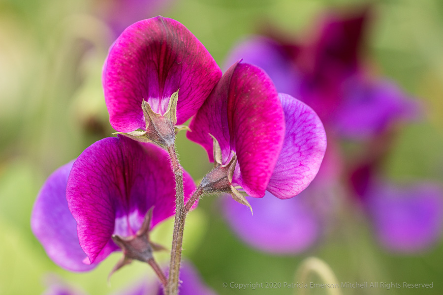 Sweet pea flowers.