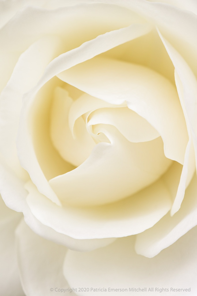 White rose close up.