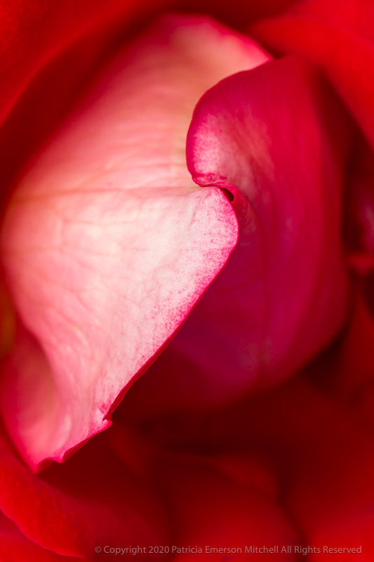 the center of a red rose