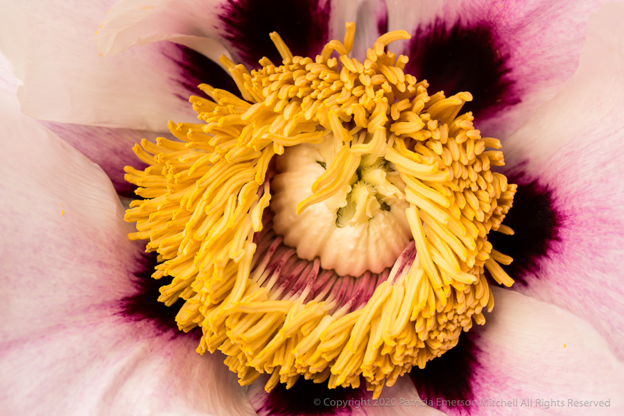 Close up of a peony flower.