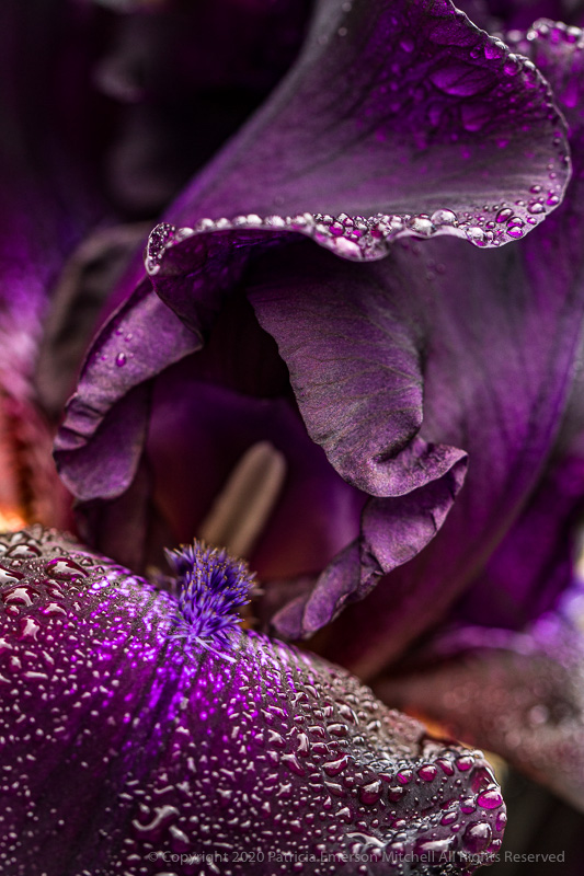 a rich purple iris with raindrops