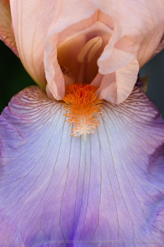 Image of a purple and orange Iris.