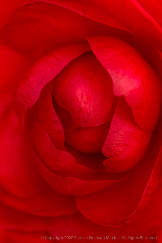intense red camellia