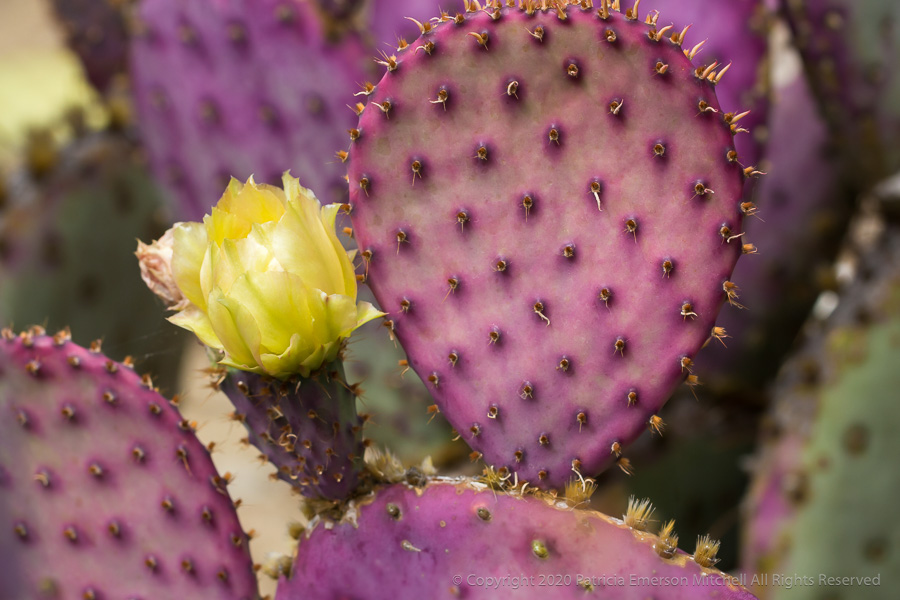 Yellow prickly pear flower and purple podlike stems