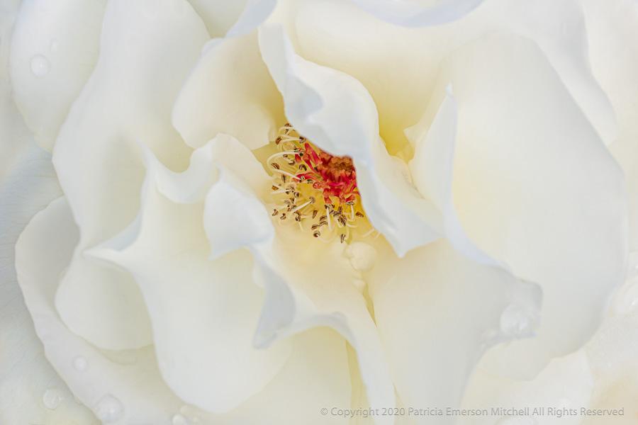 A white rose called Sugar Moon.