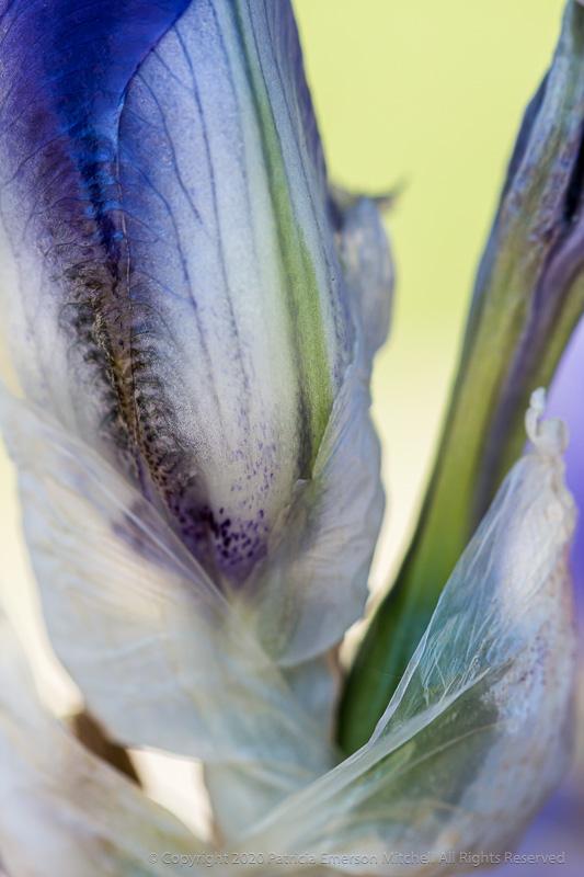 An unopened Iris