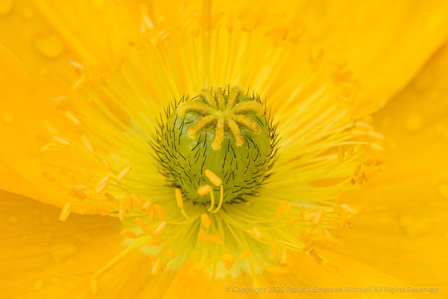 close up image of a yellow Icelandic poppy