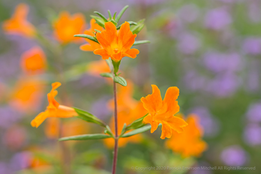 A California wildflower, common name is sticky monkey flower.