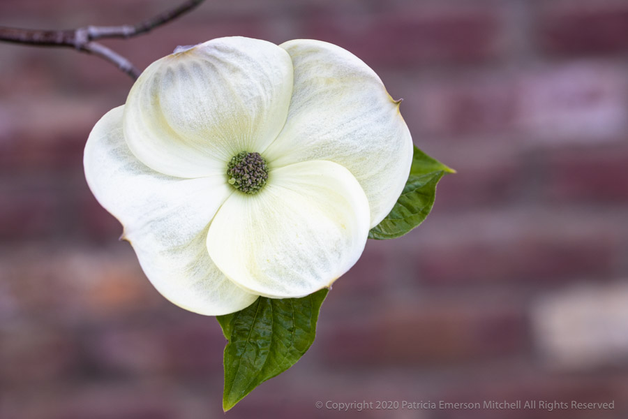 White dogwood flower
