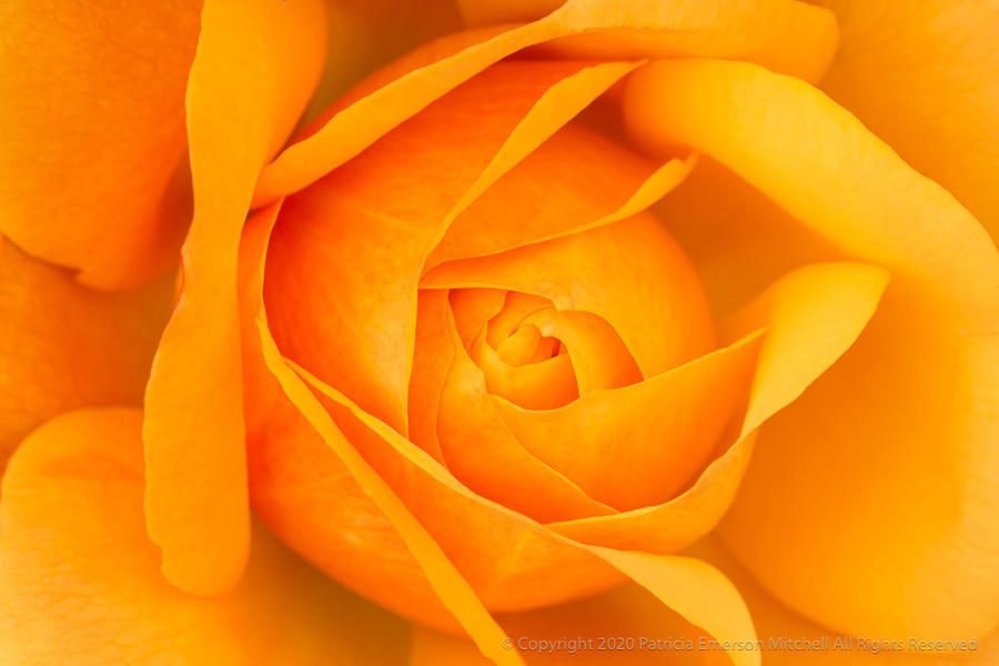 A golden yellow rose.