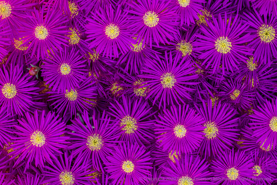 Intense purple ice plant flowers