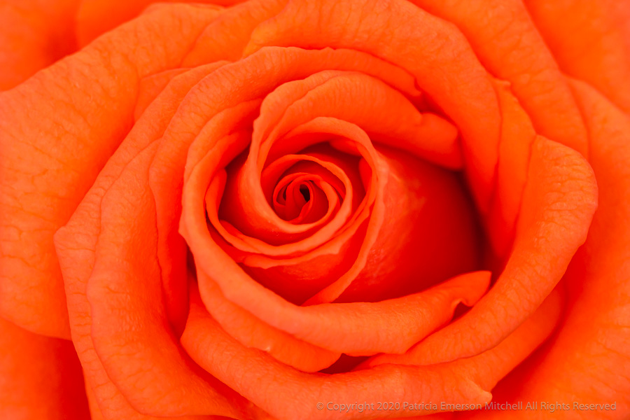 a very vivid orange rose