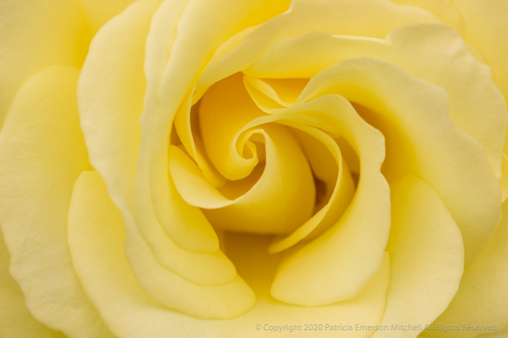 A pale yellow rose