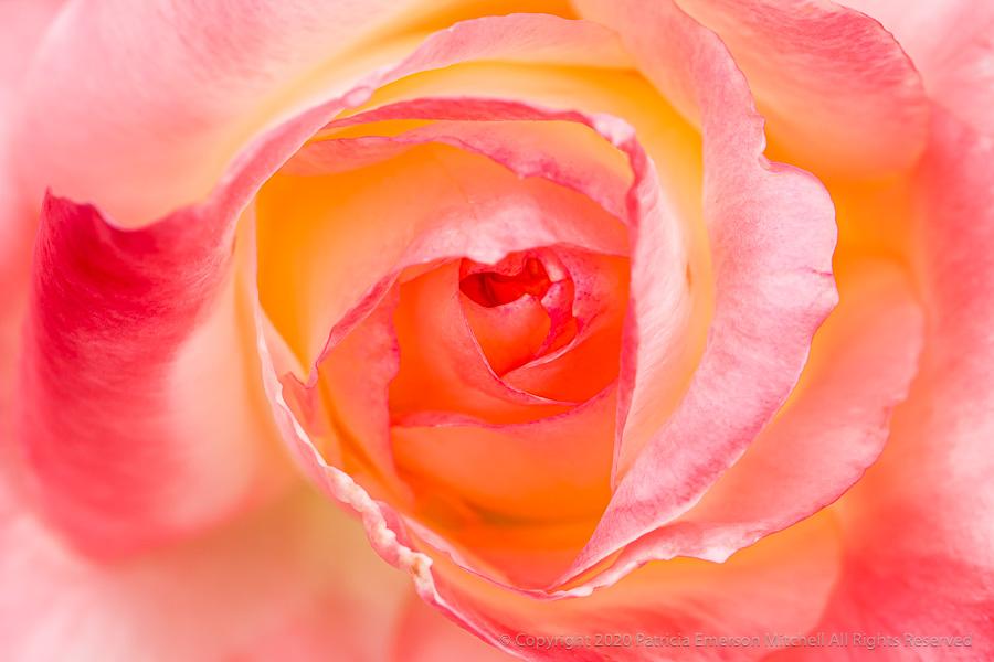 a pastel rose
