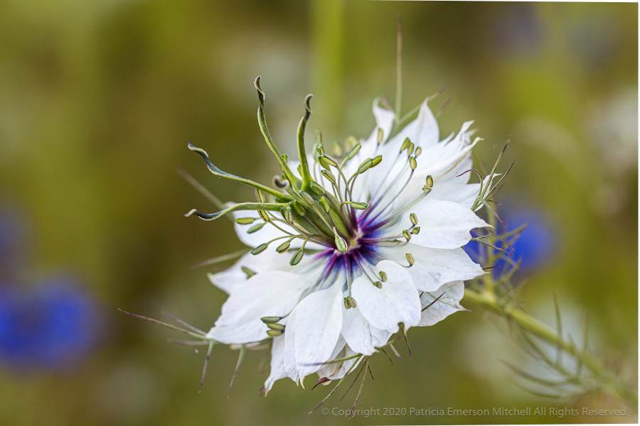 A white Nigella damascene flower, also known as love-in-a-mist.