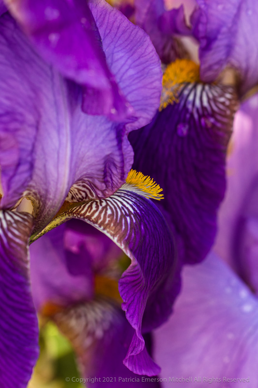 rich purple iris flowers